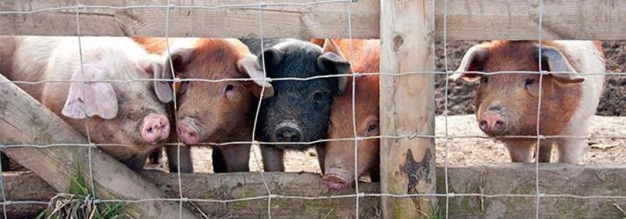 Sufinanciranje dvostrukih ograda u uzgojima svinja na otvorenom